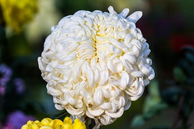 Big white chrysanthemum flower grow in the field photo premium big white chrysanthemum flower grow in the field premium photo mightylinksfo