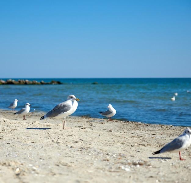 Big white sea gulls on the sandy coast of the black sea on summer day Premium Photo