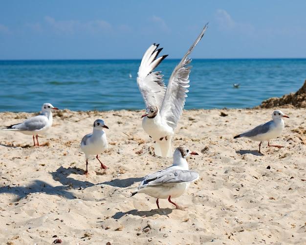 Big white sea gulls on the sandy coast of the black sea Premium Photo