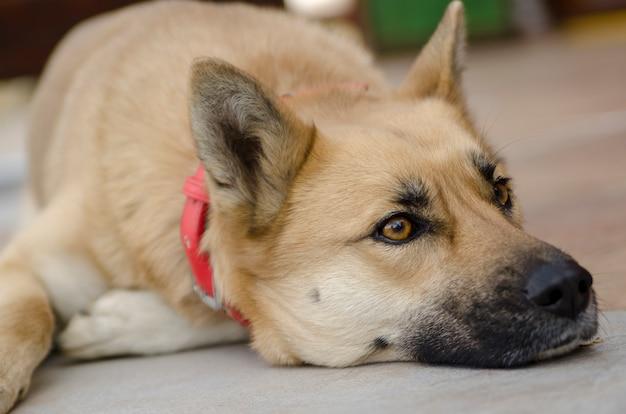 Setaliste Ka'Sanen - Page 2 Big-yellow-dog-face-close-up-sheperd-dog-laying-and-wait-looking-away_6602-118