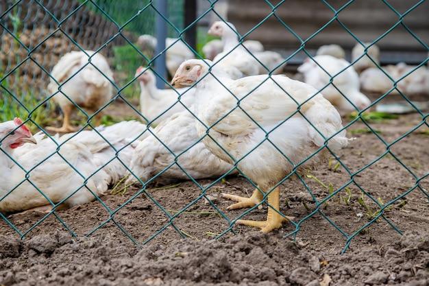Bio chickens on a home farm. Premium Photo