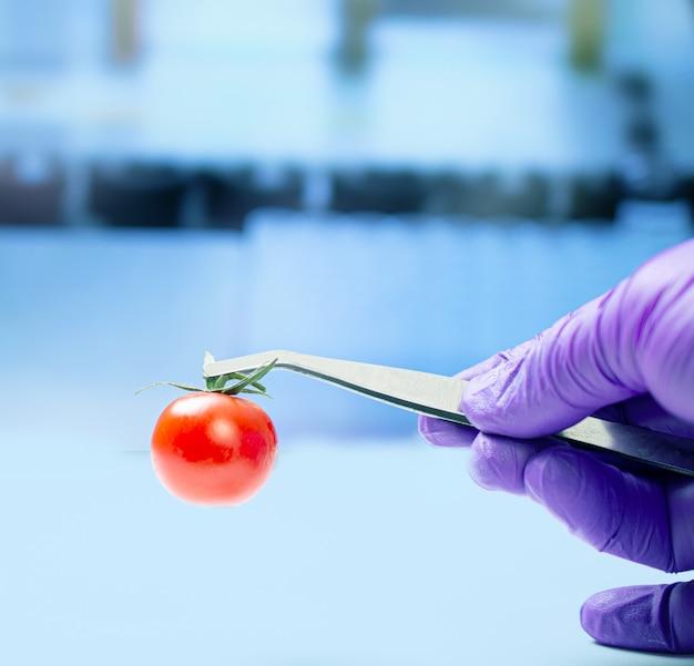 Biologist examining cherry tomato for pesticides Premium Photo