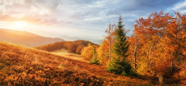 Birch forest in sunny afternoon while autumn season Premium Photo