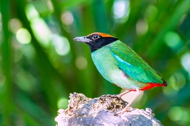 自然の中の鳥、美しいフード付きピッタ(pitta sordida)スタンド Premium写真