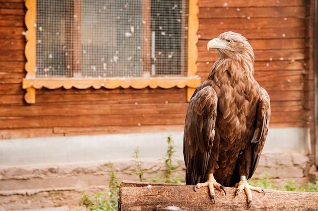 動物園の鳥イヌワシ。飼育下の鳥。動物園の動物。 Premium写真