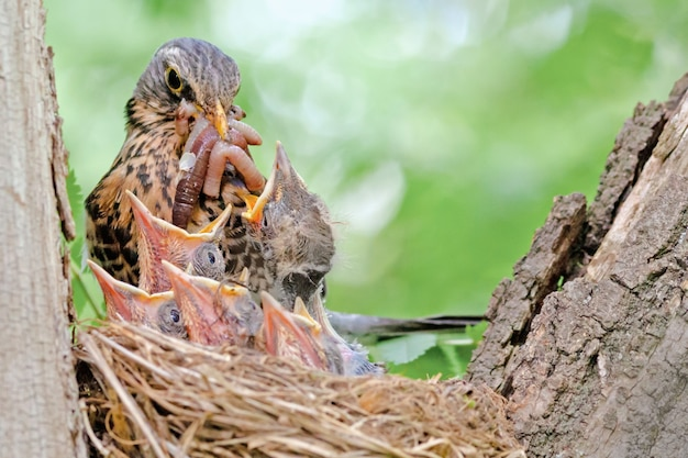 Bird is engaged in feeding its chicks in the nest, the blackbird in the nest incubates small chicks Premium Photo