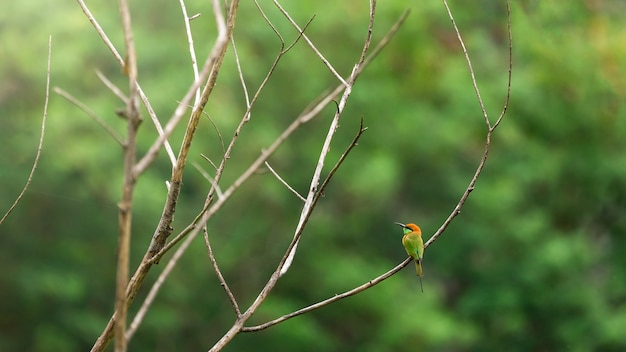 Bird scape, green bee-eater Premium Photo