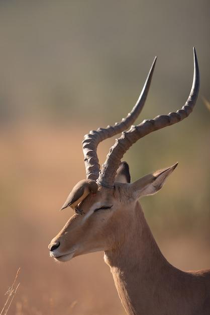 Bird sitting on the head of a gazelle Free Photo