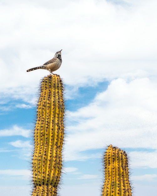 Bird sitting on top of a cactus in the sonoran desert outside of tucson arizona Free Photo