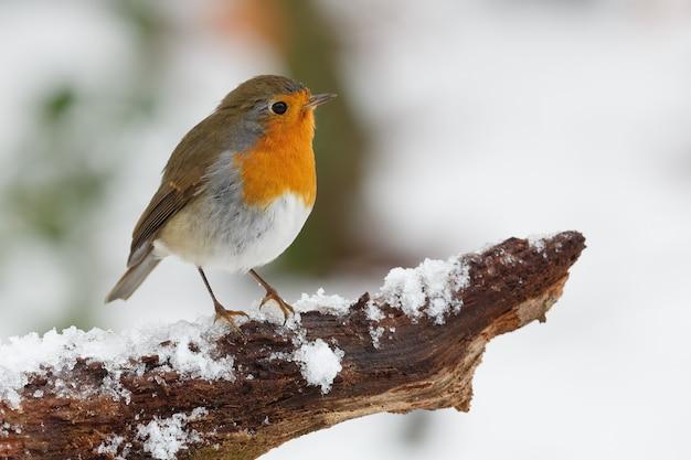 Uccello sul ramo nevoso Foto Gratuite