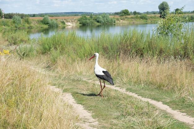 Bird white stork on the river bank. Premium Photo