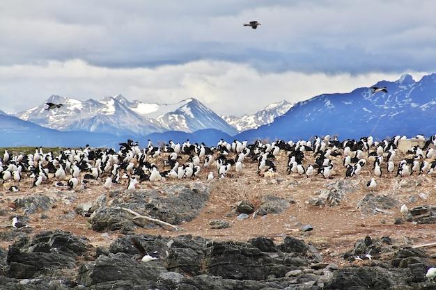 비글 채널에있는 섬의 새와 펭귄이 아르헨티나의 티에라 델 푸 에고의 우수 아이 아시를 닫습니다. 프리미엄 사진