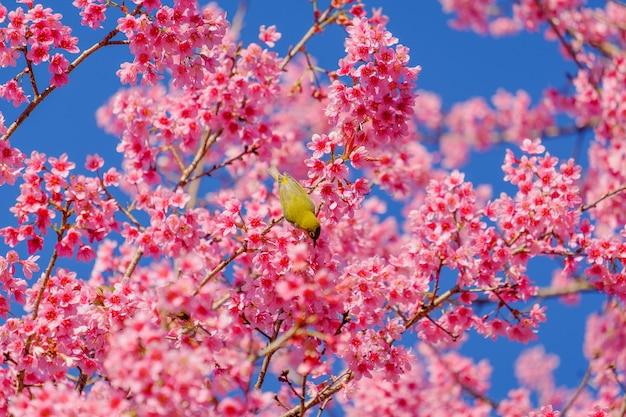 鳥は桜の木から蜜を食べています Premium写真