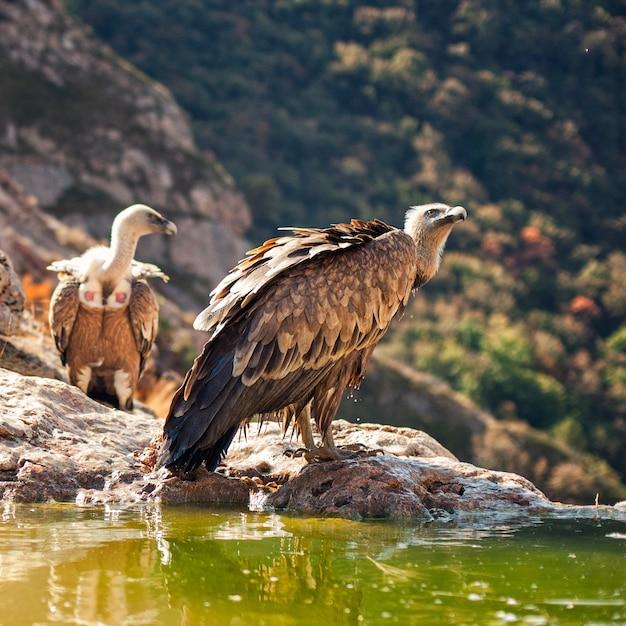 猛禽類グリフォンハゲワシgyps fulvus Premium写真