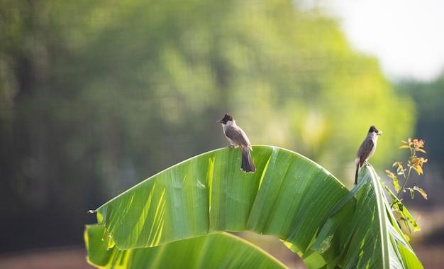 バナナの木の鳥。赤ひげヒヨドリ Premium写真