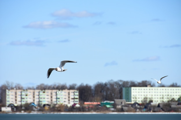 Birds of the seagull fly over the lake water in the city on the background of houses Premium Photo