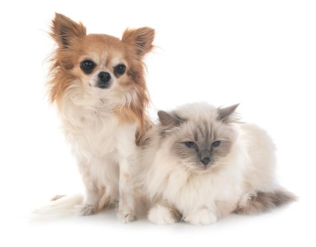 Бирманский кот и чихуахуа Premium Фотографии