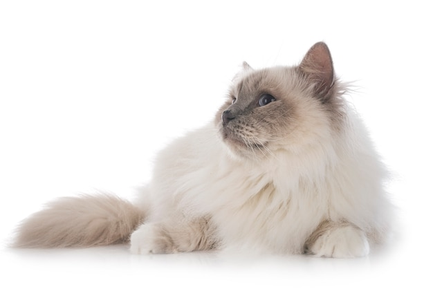Бирманский кот на белом фоне Premium Фотографии