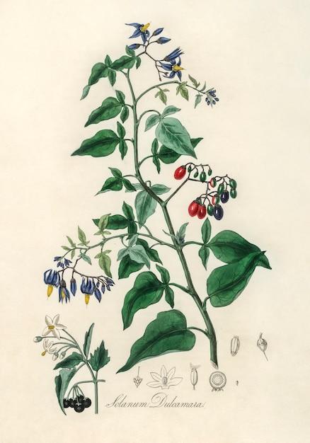 Bittersweet (solanum dulcamara) illustration from medical botany (1836) Free Photo