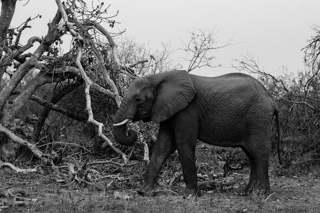 Черно-белая середина крупным планом выстрел из прекрасного слона, идущего в диком лесу южной африки Бесплатные Фотографии
