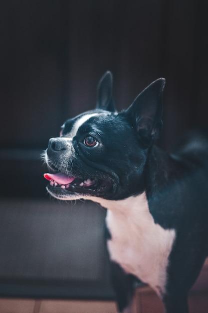 Черно-белая короткошерстная собака Бесплатные Фотографии