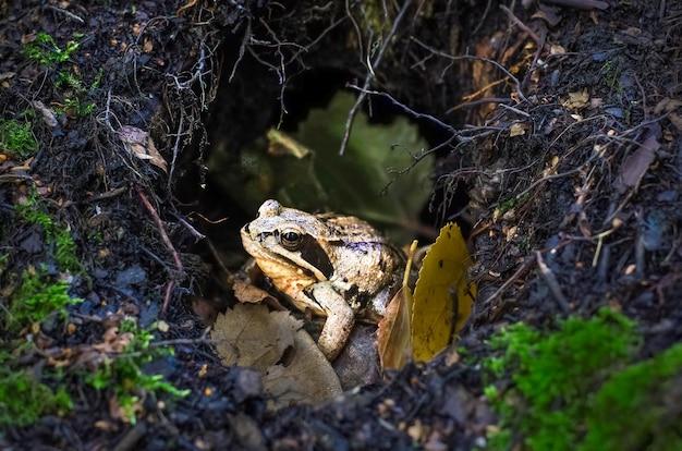 Черно-желтая лягушка в лесу среди веток и мха в норке. поверхность хэллоуина Premium Фотографии