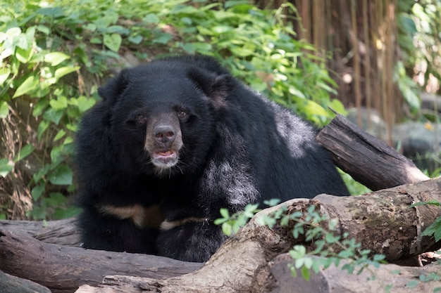 Black bear Free Photo