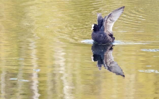 Black bird on a lake Premium Photo