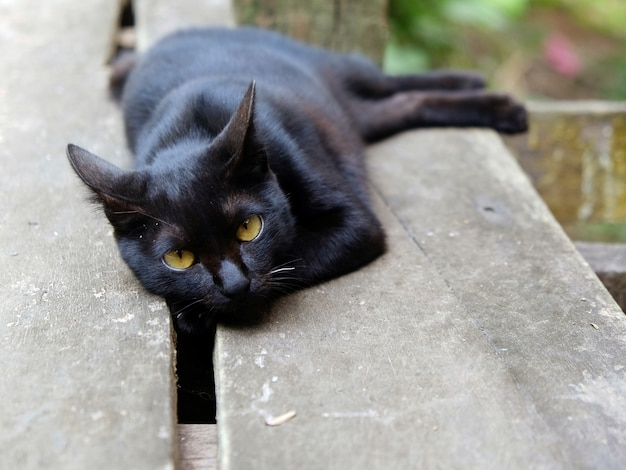 Black Cat Cute Photos Charming Eyes Staring Moment Photo Premium