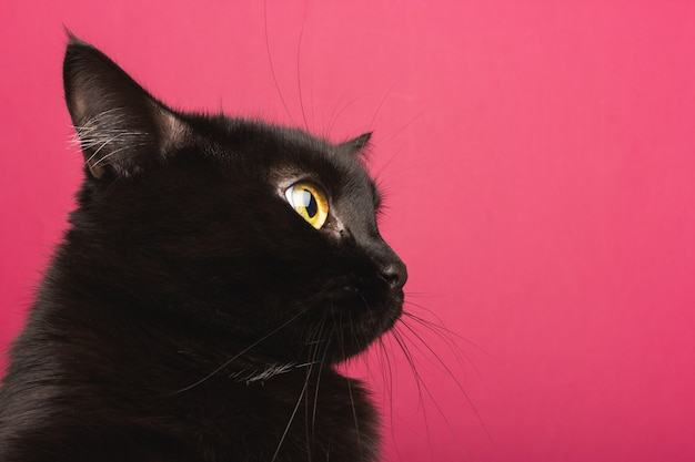 A black cat sits in profile, looks around in shock Premium Photo