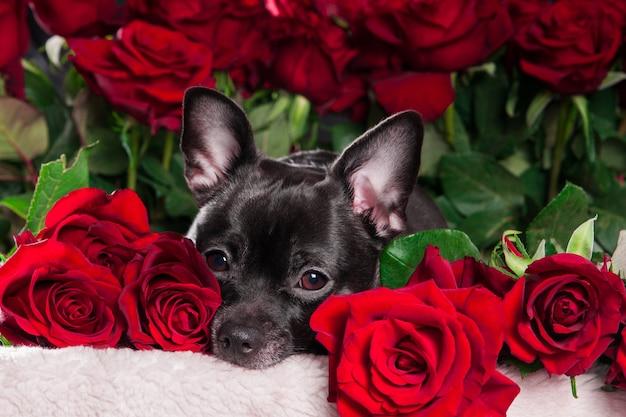 Черная собака чихуахуа смотрит в камеру на фоне красной розы Premium Фотографии
