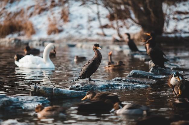 Черные утки и белый лебедь плавают на воде Бесплатные Фотографии