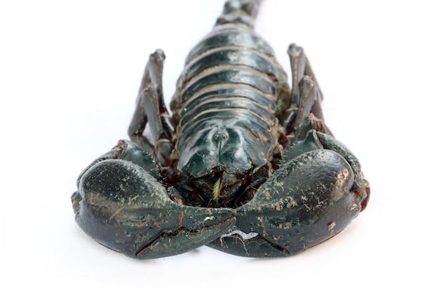 Black emperor scorpion Premium Photo