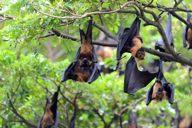 Black flying-foxes hanging in a tree Free Photo