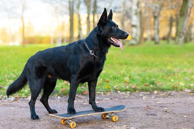 Черная немецкая овчарка на скейте, скейтборд осенью в парке Premium Фотографии
