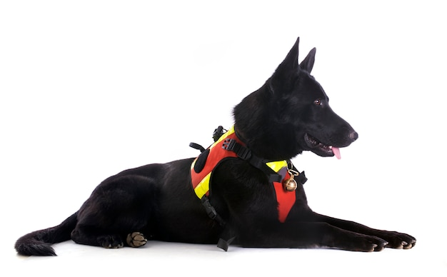 Black german shepherd Premium Photo