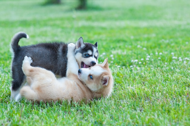 Black husky and brown puppy playing with each other Premium Photo