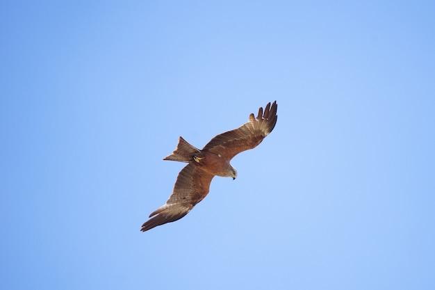 Black kite milvus migrans in the sky Premium Photo