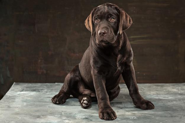 Preço do Labrador