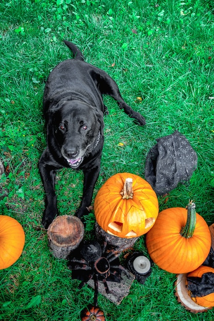 Black labrador near jack-o-lantern outdoors. halloween. dog with pumpkins. top view. Premium Photo