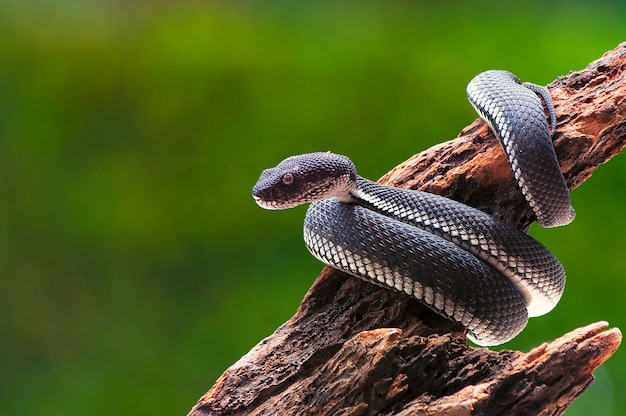 Black mangrove pit viper snake purpureomaculatus on a tree Premium Photo
