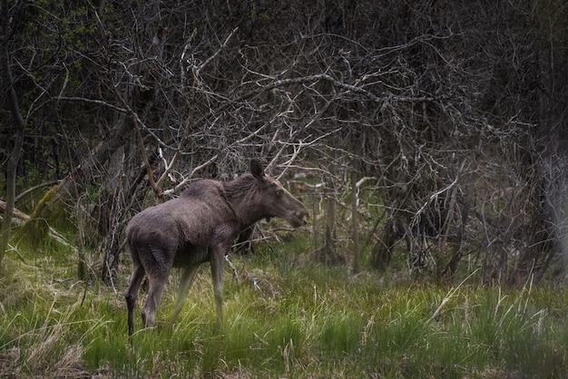木の枝のある芝生の上に立っている黒いムース 無料写真