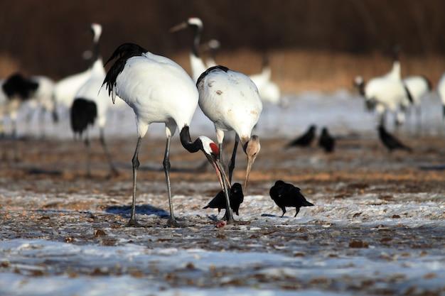 Gru dal collo nero che mangiano pesci morti sul terreno coperto di neve a hokkaido in giappone Foto Gratuite