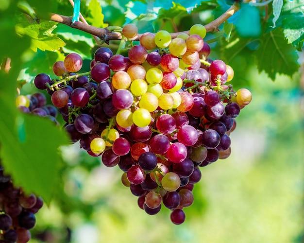 Black Opor Grapes 특별한 풍미를 지닌 씨없는 포도로 인기가 높습니다. 프리미엄 사진
