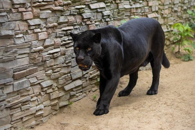 動物園でのブラックパンサー Premium写真