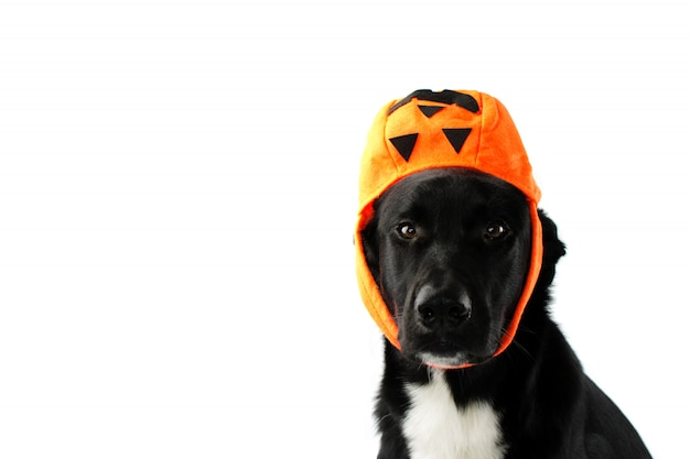 Black puppy wearing like hat a candy bag pumpin. funny trick or treat. Premium Photo