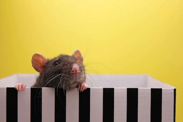 A black rat peeks out of the box. the concept of the year of rat Premium Photo