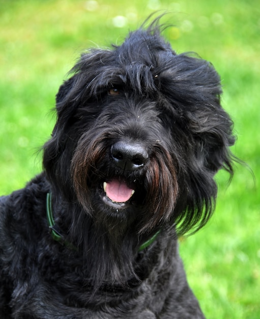 Black russian terrier dog close up in the garden Premium Photo