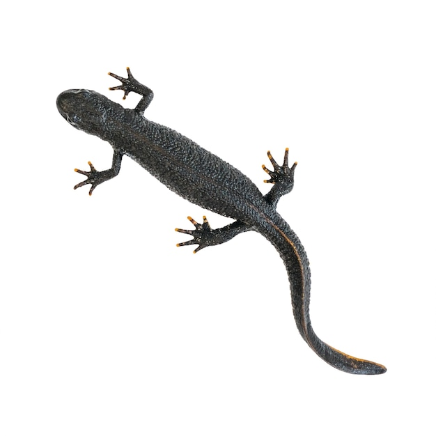 Black triton lizard isolated on white background. the view from the top. photo of a reptile. Premium Photo