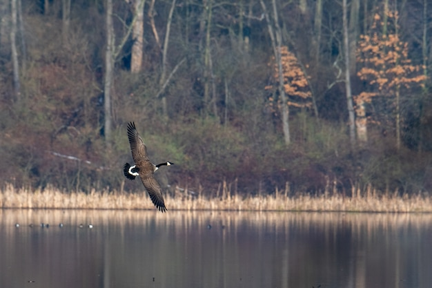 Black and white bird flying over the water surrounded by trees in autumn Free Photo